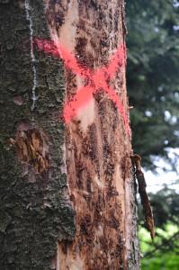 Borkenkäfer befallene bäume gekennzeichnet