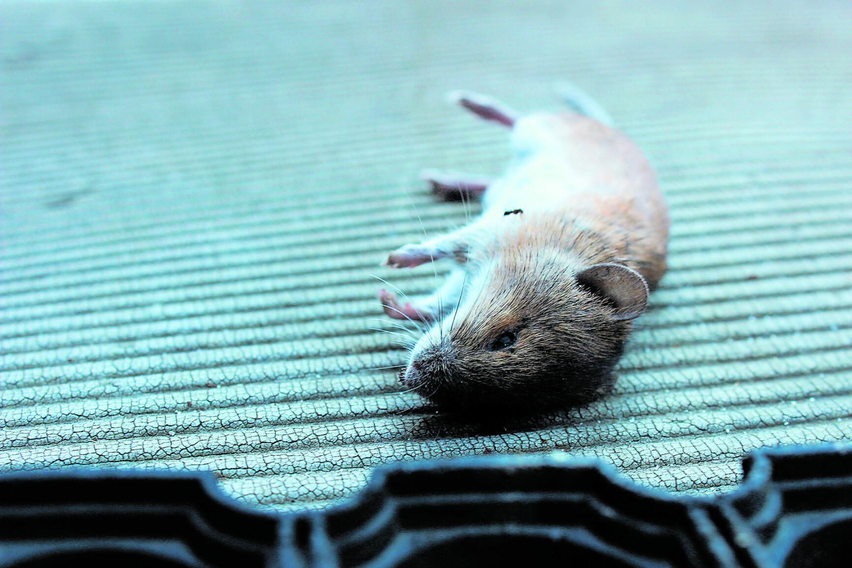 Prozess in Korneuburg - Oh Graus: Mann aß eine tote Maus