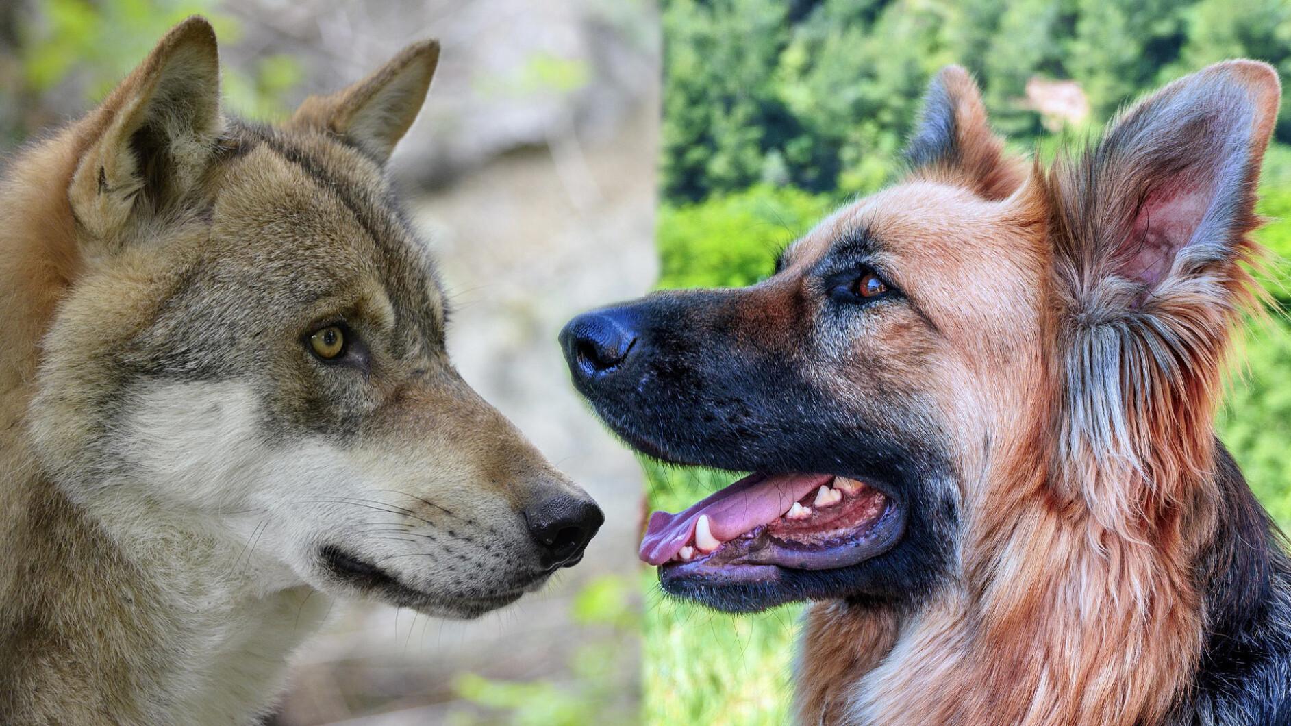 ernstbrunn  wie wölfe und hunde mit menschen