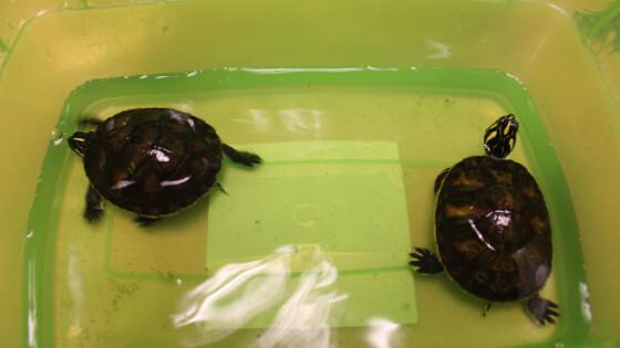 Wasserschildkröten_2.jpg