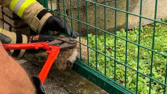 Ebreichsdorf - Feuerwehr befreite Igel aus Gartenzaun