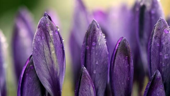 Krokus Frühling Symbolbild