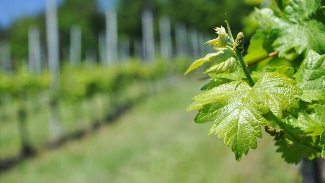 Heuriger Buschenschank Brettljause Weingarten Weinried Sturmheuriger Wein Winzer Weinreben Symbolbild