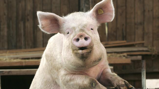 Kein Schweinefleisch am Teller Schwein Amstetten Kindergarten Symbolbild