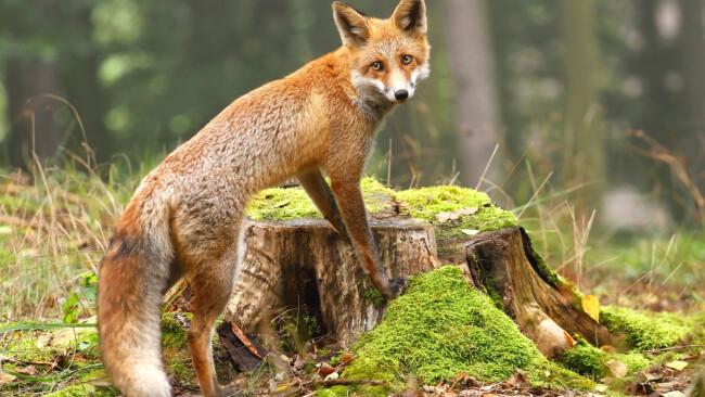 Symbolbild Fuchs