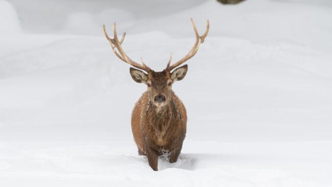Wild im Schnee