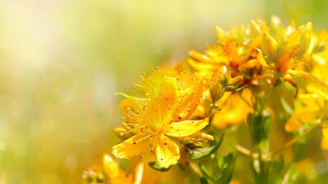 Johanniskraut Wildblume Symbolbild
