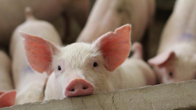 Aktuell werden noch 80 Prozent der Schweine in Betrieben mit Vollspaltenboden gehalten