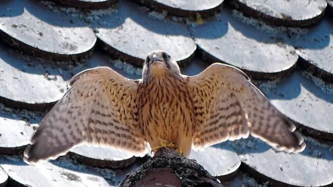 Raubvogel selten zu sehen - In St. Pölten auf der Suche nach dem Falken