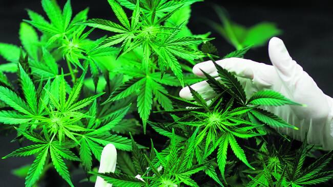 440_0008_8179041_mar37lh_cannabis.jpg