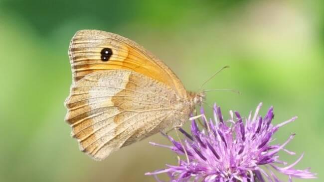 1.851 Freiwillige beteiligten sich bei Schmetterlingszählung