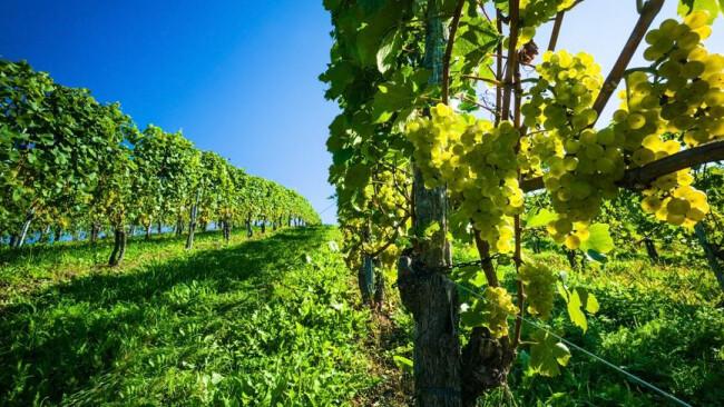 Wein Uhudler Ernte Roden Rodung Rebstöcke Weintrauben im Weingarten Weintrauben im Weinberg eines Winzers. Weingarten im Herbst.